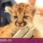 Salvan cría de Puma en Puerto Gaitán Meta