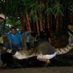 Rescate de un Caimán Llanero en Puerto Gaitán