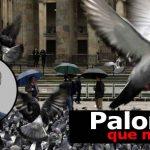 Sobrepoblación de Palomas Podrían Afectar la Salud Humana